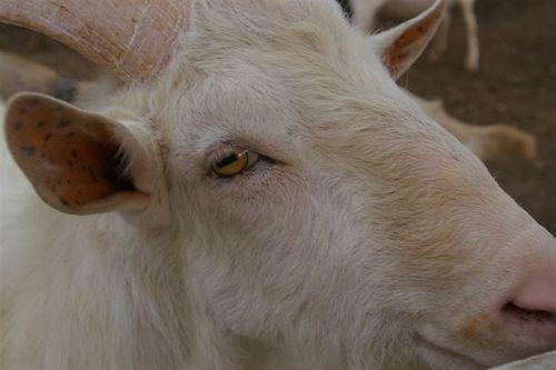 Goats Do Roam Wine, anyone?