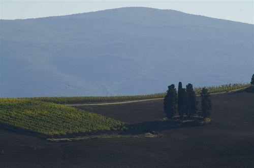 Chianti Cypress