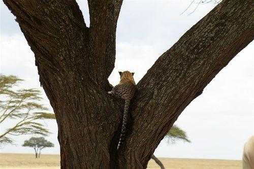 Leopard, Aloof