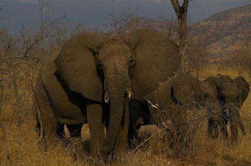Tembo in the Ruaha