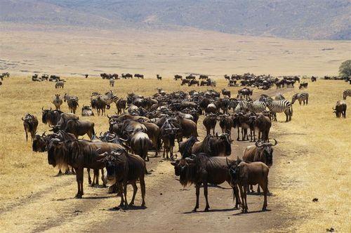 Wildebeest Traffic Jam